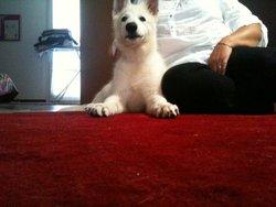 Thor, chien Berger blanc suisse