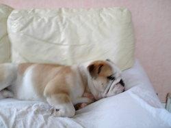 Thor, chien Bulldog