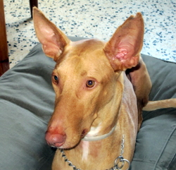 Thorgal, chien Podenco ibicenco