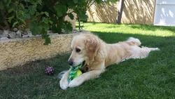 Thorgal, chien Golden Retriever
