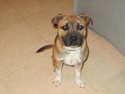 Thoruk, chien Staffordshire Bull Terrier