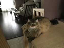 Ti-Chat, chat Maine Coon