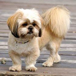 Ti-Gars, chien Lhassa Apso