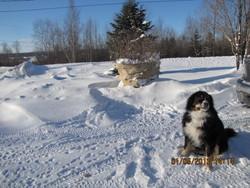 Ti-Gars, chien Bouvier bernois