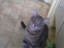 Ti-Lou, chat Européen