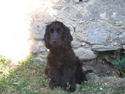 Ti -Lou , chien Cocker anglais