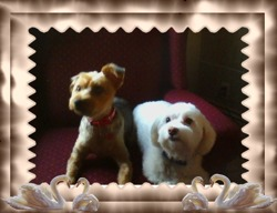 Ti-Loup, chien Yorkshire Terrier