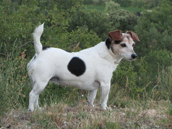 Ti'Loup, chien Jack Russell Terrier