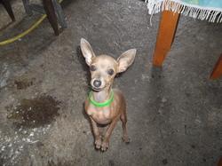 Ti-Loup, chien Pinscher