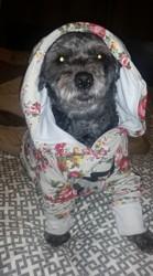 Ti Louu, chien Caniche