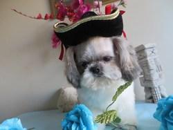Ti Mousse, chien Shih Tzu