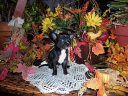 Ti-Noir, chien Chihuahua