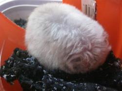 Ti-Sel, rongeur Hamster