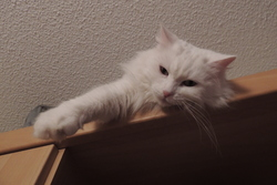 Tia, chat Angora turc