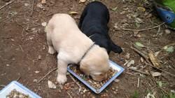 Tia, chien Labrador Retriever