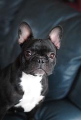 Tiana, chien Bulldog