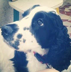 Tiana, chien Cocker anglais