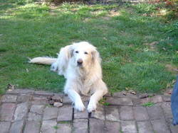 Tiana, chien Golden Retriever