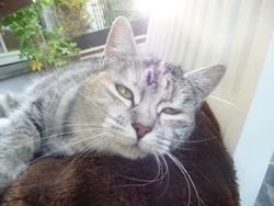 Tiana, chat Européen