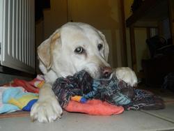 Tiara, chien Labrador Retriever
