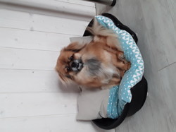 Tibby, chien Épagneul tibétain
