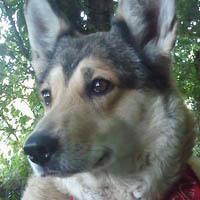 Tibelle, chien Husky sibérien
