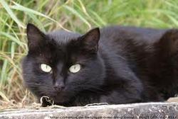 Tibotté, chat Bombay