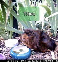 Tibou, rongeur Cochon d'Inde