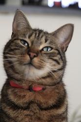 Tibou, chat Gouttière