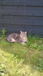 Tibouille, chat Européen
