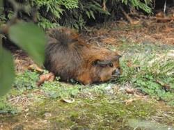 Tiboune, rongeur Cochon d'Inde