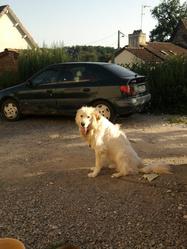 Tibout, chien Chien de montagne des Pyrénées