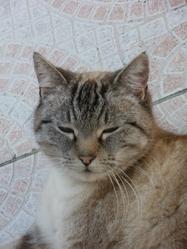 Tibulle, chat Européen