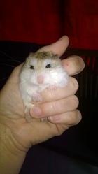 Tic Femelle Et Tac Mal, rongeur Hamster