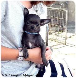 Tic Tac, chien Chihuahua