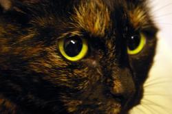 Ticanon, chat Européen