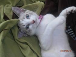 Ticha, chat Siamois