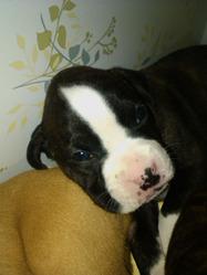 Tidus, chien Boxer