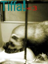 Tiffa, rongeur Furet