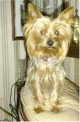 Tiffany, chien Yorkshire Terrier