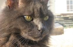 Tifou, chat Européen