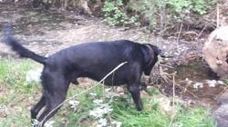 Tifou, chien Labrador Retriever