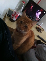 Tiger, chat