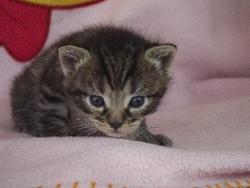Tiggri, chat Européen