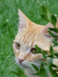 Tigr'Roux, chat Européen