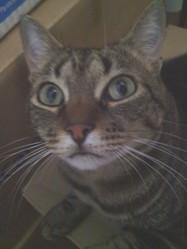 Tigra, chat Européen