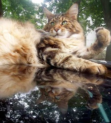 Tigre, chat Maine Coon