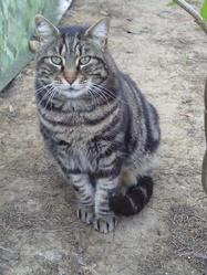 Tigre, chat Européen
