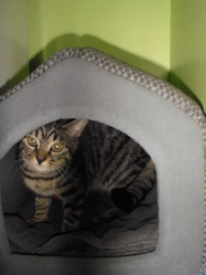 Tigrée, chat Européen