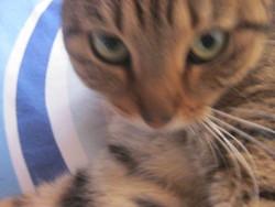 Tigresse, chat